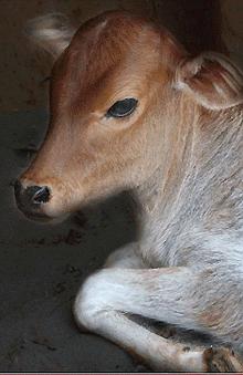 Cow-Care-Gir-Jasdan