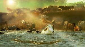 Cows-gomataseva.org